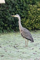 Photo of IMG_1704 Grey Heron