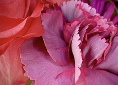 Supermarket Flowers, In Color (Anne Marie Clarke) Tags: flowers supermarket fuchsia macro closeup petals pink coral ruffles edges
