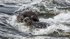 Eurasian Otter 19-Jan-20 M_006 (gomo.images) Tags: 2020 aberdeen aberdeenshire animals country eurasianotter nature riverdon scotland years