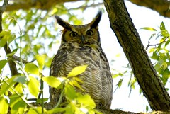 Great horned owl (Frame To Frame - Bob and Jean) Tags: owl great horned owlet ontario canada bird birding photography original nature outdoors tree birds feather ears eyes sitting branch