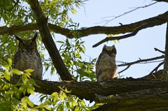 Great horned owl and owlet (Frame To Frame - Bob and Jean) Tags: owl great horned owlet ontario canada bird birding photography original nature outdoors tree birds feather ears eyes sitting branch