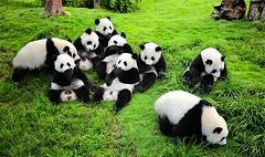 Sichuan-Giant-Panda-Sanctuaries (allegiant air reservations) Tags: allegiantairlinesreservations allegiantairlinesofficialsite allegiantairlinesflightdeals allegiantairlinestickets allegiantairlinesflights allegiantflightreservations allegiantairlinesdeals allegiantairlinesflighttickets allegiantairlinesflightbooking allegiantairlines flightbooking flighttickets flightdeals chengdu china travel