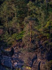 Cliff pine tree -  Klippenkiefer (ralfkai41) Tags: kiefer landscape landschaft nature felsen wald natur sächsicheschweiz woodland saxonianswitzerland elbsandsteingebirge sachsen forest pinetree elbesandstonemountains bäume rocks trees saxony