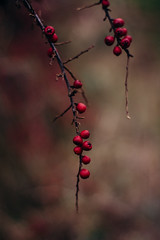 Winter berries (Inka56) Tags: crazytuesday red berries winter pentaxm11450mm oldlens manualfocus shallowdepthoffield dof bokeh lowkey flora