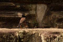 Acridotheres tristis (Hachimaki123) Tags: cambodia siemriep bird animal angkorwat ave pajaro angkor wat pájaro camboya កម្ពុជា សៀមរាប អង្គរវត្ acridotherestristis