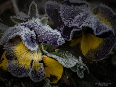 Too late! (Through_Urizen) Tags: category eskisehir flora focusstacked ikieylulcampus places turkey canon90d canon sigma105mmmacro macro macrophotography narrowdof narrowdepthoffield ice frozen frost crystals petals pansy winter