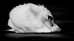 'Streamliner' (Jonathan Casey) Tags: swan jonathan casey photography black white whitlingham norfolk broad broads wildlife bird lake nikon d850 400mm f28
