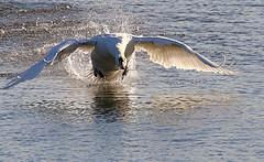 Mute Swan (robin denton) Tags: muteswan swan action flight chase territorialbehaviour cygnusolor bird nature wildlifetrust ywt northcavewetlands yorkshirewildlifetrust
