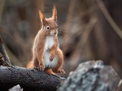 Dancing... (holgerreinert) Tags: 2020 dcgx9 eichhörnchen elmarit gx9 hes200 januar leica lumix m43 monrepos natur squirrel mft naturelove squirrelappreciationday