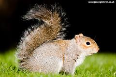 Photo of Grey Squirrel