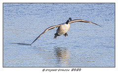 Just testing the water - Canada Goose dipping a wing before landing (Roland Bogush) Tags: canoneos1dxmk2 canonef400mmf4doisusmmk2lensx2extender canadagoose brantacanadensis