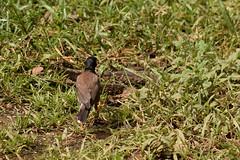 Acridotheres tristis (Hachimaki123) Tags: cambodia angkor siemriep camboya កម្ពុជា សៀមរាប អង្គរវត្ bird animal ave pajaro wat pájaro angkorwat acridotherestristis