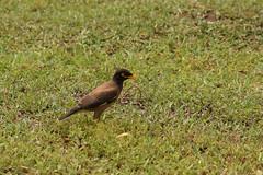 Acridotheres tristis (Hachimaki123) Tags: siemriep cambodia camboya កម្ពុជា សៀមរាប អង្គរវត្ angkor wat animal ave pajaro pájaro bird angkorwat acridotherestristis