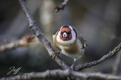 Chardonneret (Jeff-Photo) Tags: animal bird canon chardonneretélégant faune landscape nature oiseau oiseaux paysage pleinair