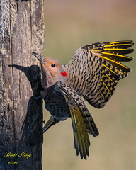 Yellow shafted Northern Flicker (dbking2162) Tags: birds bird beautiful beauty nature nationalgeographic noblesville indiana animal northernflicker flicker yellowshafted explore eyes