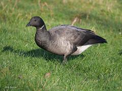 Brent Goose Branta b. bernicla (nik.borrow) Tags: bird goose wildfowl waterfowl holkham