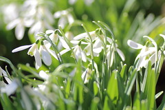 Spring (rumyanawhitcher) Tags: snowdrops spring galanthusnivalis flowers flora floral botany botanical garden outdoors white plants