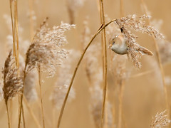 Bearded reedling feeding on reed seeds (DrAnthony88) Tags: beardedreedling neognathae nikond500 nikonnikkorafs500mmf56epfedvr panuridae panurusbiarmicus passeriformes seedheads female kent uk reeds oaremarshes beardedtit