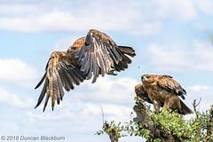 Fly away Peter.... (Explore 20 January 2020) (Duncan Blackburn) Tags: southafrica bird nature nikon wildlife kruger tawnyeagle