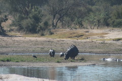 Hippos covered in Oxpeckers (Rckr88) Tags: krugernationalpark southafrica kruger national park south africa hippos covered oxpeckers hipposcoveredinoxpeckers hippo hippopotamus dam dams lake lakes animals animal nature naturalworld outdoors travel travelling
