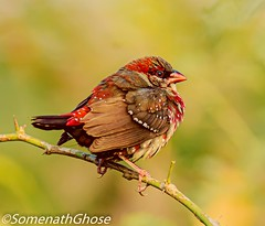 Red Avadavat♂️ (somenath2006) Tags: birding birds finch india tamron nikond750 nationalgeographic wildlife birdphotography nature animal fantasticnature amazingwildlifephotos