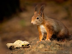 It's red squirrel appreciation day FB 2603 (vickyoutenphoto) Tags: vickyouten redsquirrel squirrel nikon nikond7200 nikkor55300mm formbybeach formby uk