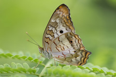 Butterfly 2019-211 (michaelramsdell1967) Tags: butterfly butterflies nature macro animal animals insect insects white green brown leaves beauty beautiful pretty lovely vivid vibrant detail delicate fragille meadow bug bugs bokeh wildlife upclose closeup wings zen