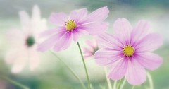 Cosmos candy rose (mamietherese1) Tags: netartii coth coth5 earthmarvels50earthfaves world100f soe magicunicornverybest floralessence xoticimage