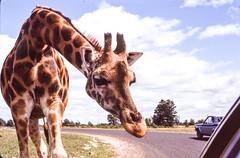 Found Kodachrome Slide (Thomas Hawk) Tags: analog kodachrome vintage auto automobile car foundphoto foundslide giraffe fav10 fav25 fav50 fav100