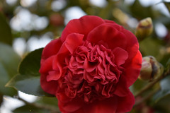 Red Camellia. (dccradio) Tags: lumberton nc northcarolina robesoncounty outside outdoor outdoors nature natural nikon d3500 dslr monday afternoon january mondayafternoon goodafternoon foliage plant greenery leaf leaves camellia camelliajaponica commoncamellia japanesecamellia tsubaki roseofwinter theaceae flower floral flowers bloom blooming blooms blossom blossoms blossoming