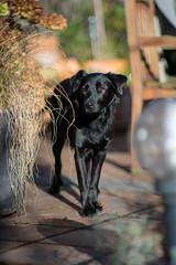 Betti in the sun (www.altglas-container.de) Tags: betti dog bokeh haustier mischling mixedbreed pet hund