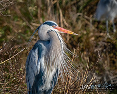 Grandpa -3347 (George Vittman) Tags: bouchesdurhône france birds heron beard portrait posing wildlifephotography jav61photography jav61
