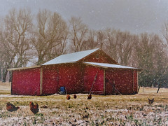 snowy day (boriches) Tags: chickens barn ozxarks missouri winter snow