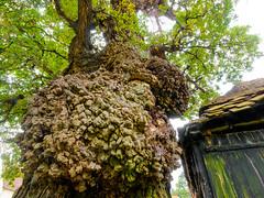 Photo of The Scots Farm oak near Checkendon