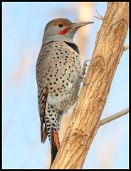 Flicker (Ed Sivon) Tags: america canon nature lasvegas wildlife western wild southwest clarkcounty desert flickr vegas 500mm bird henderson nevada preserve