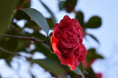 Sky Behind A Red Camellia. (dccradio) Tags: lumberton nc northcarolina robesoncounty outside outdoor outdoors nature natural nikon d3500 dslr monday afternoon january mondayafternoon goodafternoon foliage plant greenery leaf leaves camellia camelliajaponica commoncamellia japanesecamellia tsubaki roseofwinter theaceae flower floral flowers bloom blooming blooms blossom blossoms blossoming