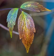 Leaves (L@nce (ランス)) Tags: leaf leaves macro bokeh micro nikkor nikon victoria canada britishcolumbia