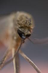 Mosquito (Rifat J. Eusufzai) Tags: mosquito flies dead macro closeup nikon d7100 mitakonzhongyi supermacro lens 20mm dhaka bangladesh