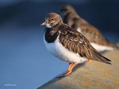 Ruddy Turnstone Arenaria i. interpres (nik.borrow) Tags: bird wader shorebird