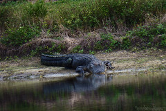 The Monster. (Sparkle_Photography) Tags: alligator reptile reptiles naturephotography florida floridaphotography floridanature floridaphotographer floridalife floridawildllife wildlife wildlifephotography wildlifeanimals