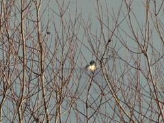 Merganser On Chew (Ian156) Tags: merganser waterfowl duck