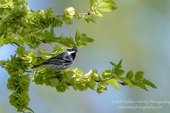 Thank You Sir (TNWA Photography (Debbie Tubridy)) Tags: blackthroatedgraywarbler warbler bird male nature wild wildlife natural habitat perching behavior