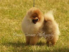Happy Pomeranian (Emma Martha) Tags: pomeranian show dog