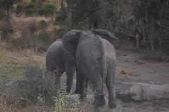 Elaphants (Rckr88) Tags: krugernationalpark southafrica kruger national park south africa elaphants elaphant animals animal nature naturalworld outdoors travel travelling