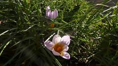 Fleurs à mes fenêtres (jeanlouisallix) Tags: rouen seine maritime haute normandie france fleurs flower crocus