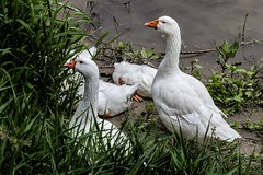 le oche giulive (gianmaria.colognese) Tags: oca geese bianco white green verde fiume water acqua