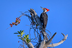 Pileated woodpecker at Venice Rookery, Venice, Florida (diana_robinson) Tags: bird nature outdoors nopeople environment dryocopuspileatus pileatedwoodpecker perching veniceflorida environmentalconservation beautyinnature venicerookery floridausstate animalsinthewild oneanimal animalthemes abigfave