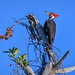 Pileated woodpecker at Venice Rookery, Venice, Florida