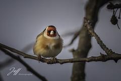 Lumière du matin (Jeff-Photo) Tags: animal bird canon chardonneretélégant faune landscape nature oiseau oiseaux paysage pleinair