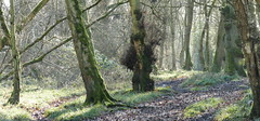 P1560896 (Pitzy's Pyx, keep snapping away!.) Tags: flitwickwood flitwick greensandtrust greensandtrustvolunteers lumixfz1000 woodlandmanagement a gst voles day wood with jamie proud ranger 21012020 our task clear edge back 10 metres allow room for wild spring flowers by coppicing hazel cutting ash suffering from dieback it was cool but sunny morning we had great fire